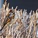 Male House Sparrow 2