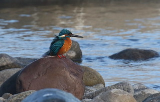 Common Kingfisher - Alcedo atthis | by Engilis Photos