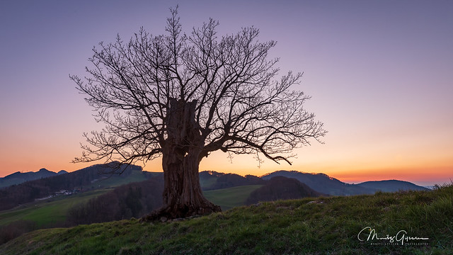 A lonesome oak on the Jura hills at dusk