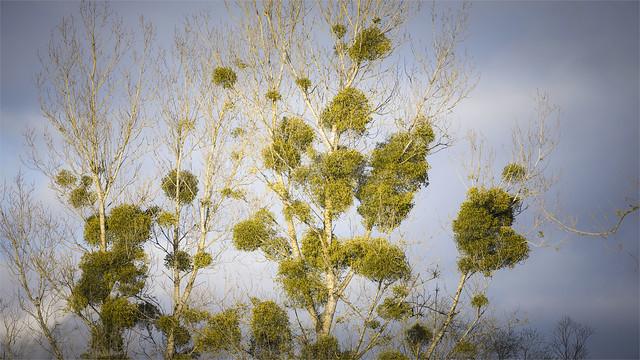 _DSC5692 Mistletoe tree