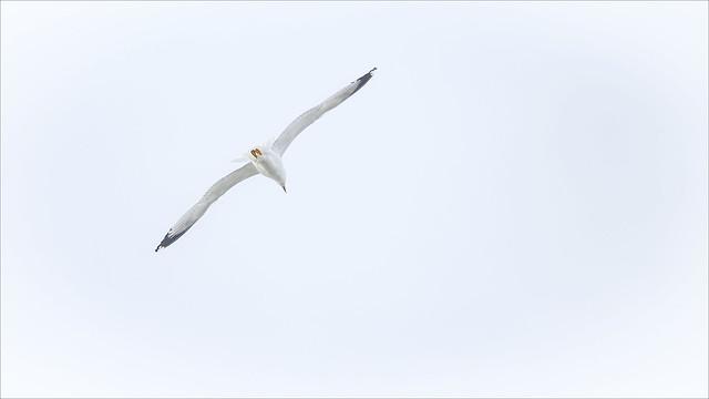 _DSC5691 Seagull in flight