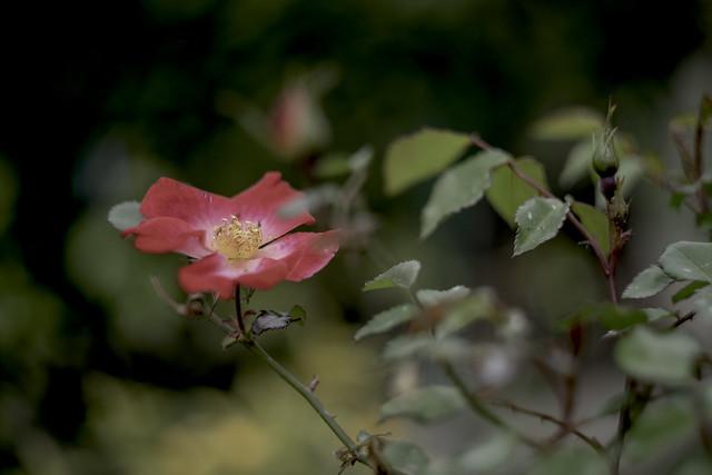 Rose d'antan