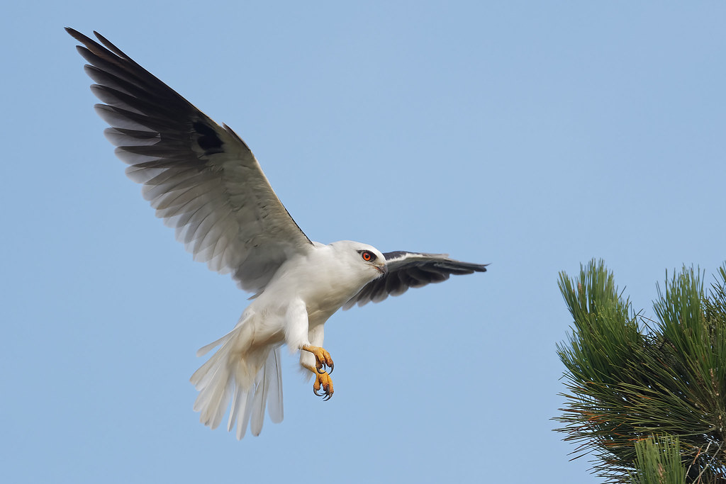 Black-shouldered Kite: Drifting In