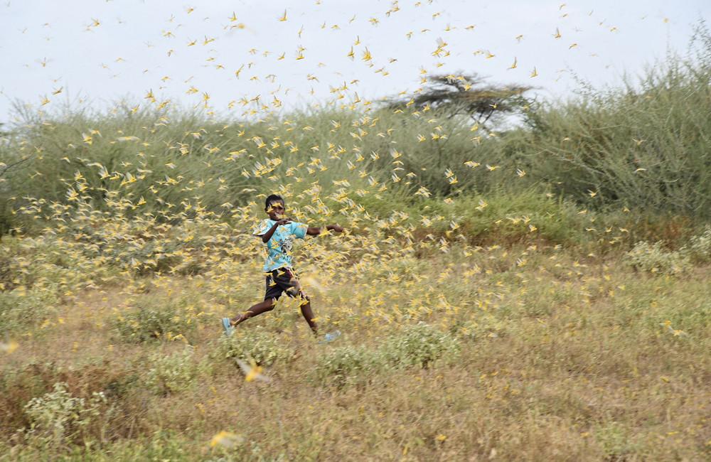 蝗蟲肆虐東非伊索比亞。照片來源:Obi Anyadike/TNH