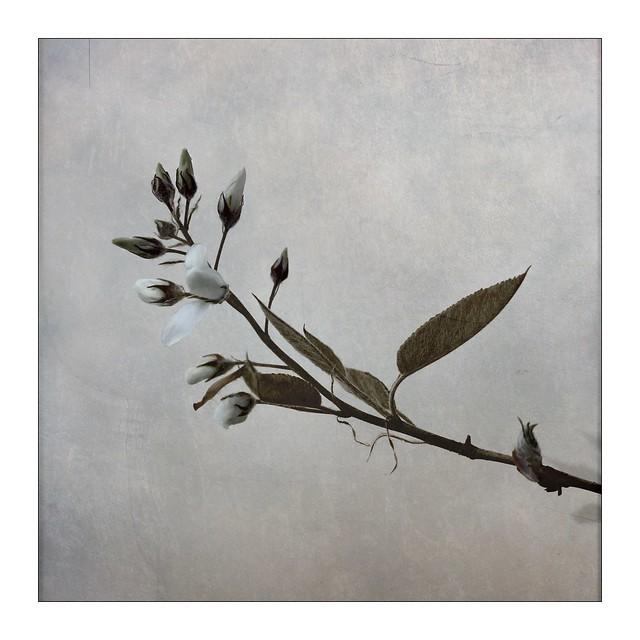 Juneberry blossom II