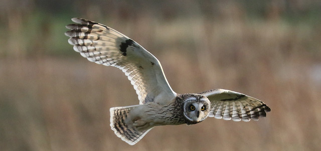 Short Eared Owl Out Hunting