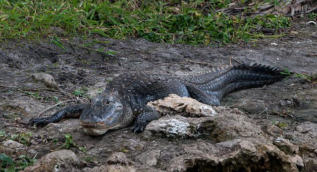 Naples, Florida - Big Cypress Preserve - Alligator Resting on the River Bank