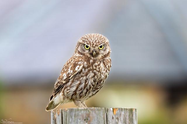 Little Owl face off