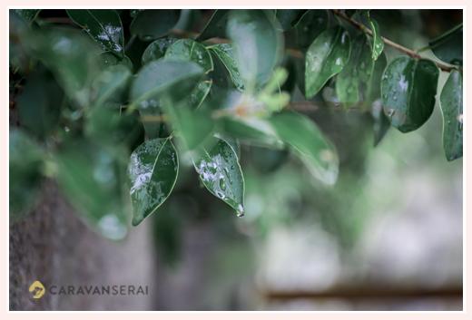 雨の日 葉にしたたる雨粒