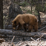 Black Bear foraging