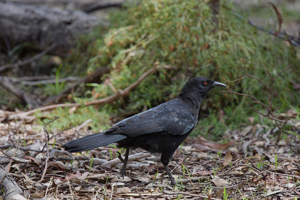 White-winged Chough ( on  a mission )