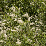 Western Chokecherry