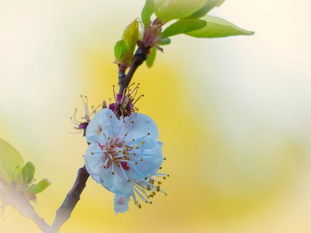 Abricotier, dernières fleurs .
