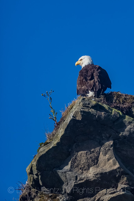 Bald Eagle in Olympic National Park