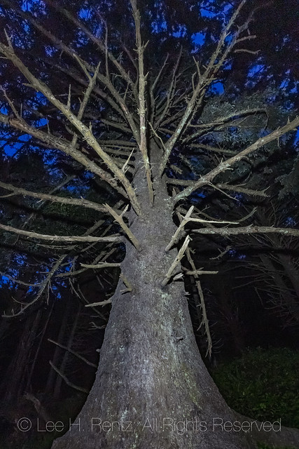 Sitka Spruce at Night in Olympic National Park