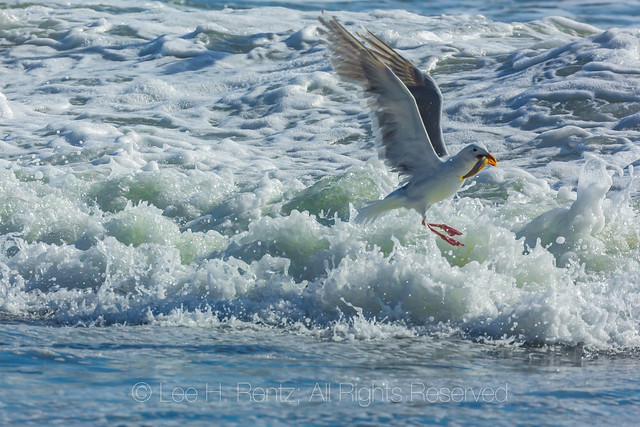 Western Gull Fishing in Surf in Olympic National Park