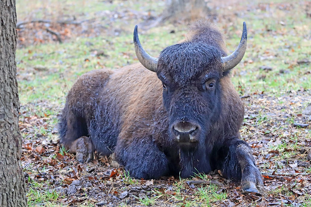 Bison - Braving the Weather