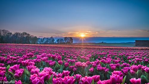 francken grevenbroich germany tulpenhof kapellen sunset sun sonnenuntergang tulpenfelf tulips tulip tulpen tulpe sonnenstrahlen leica m10 28mm summicron nrw