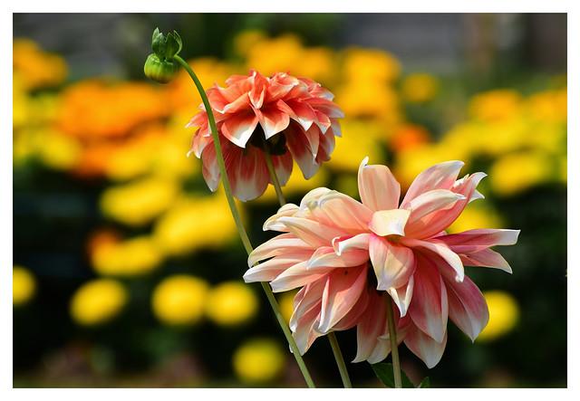 Dahlias_beautiful!(In Explore)