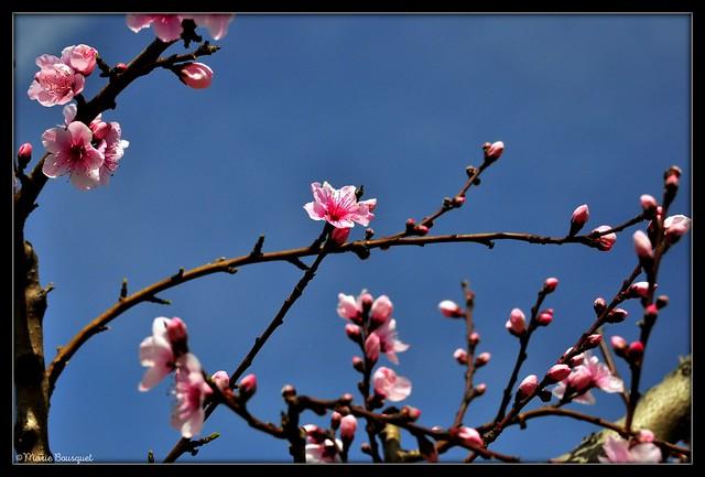 Branches de pêcher en fleurs