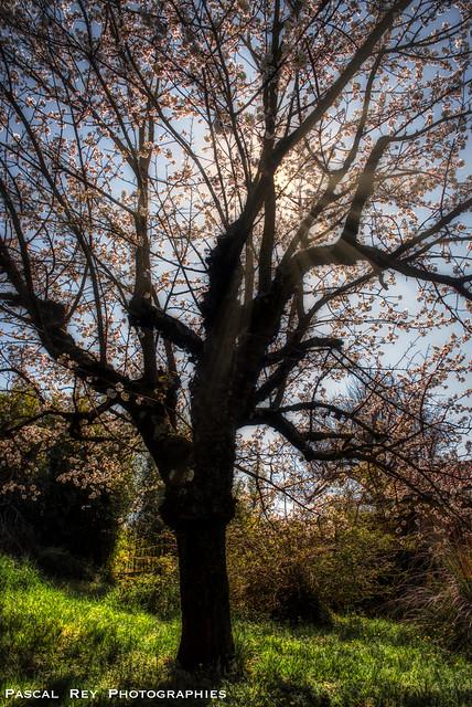 Le sourire du Cerisier...