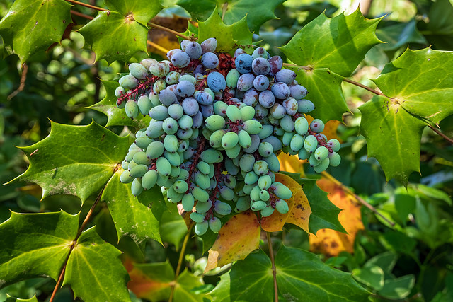 Cluster Of Mountain Grapes
