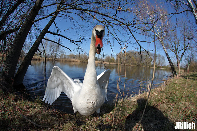 attacking mute swan @ Auwald, Leipzig 2020