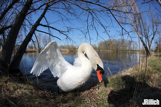 mute swan, Höckerschwan, Cygnus olor @ Auwald, Leipzig 2020