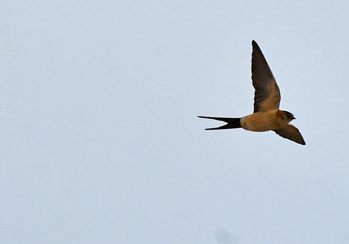 Red-rumped Swallow (Cecropis daurica) | by Brian Carruthers-Dublin-Eire