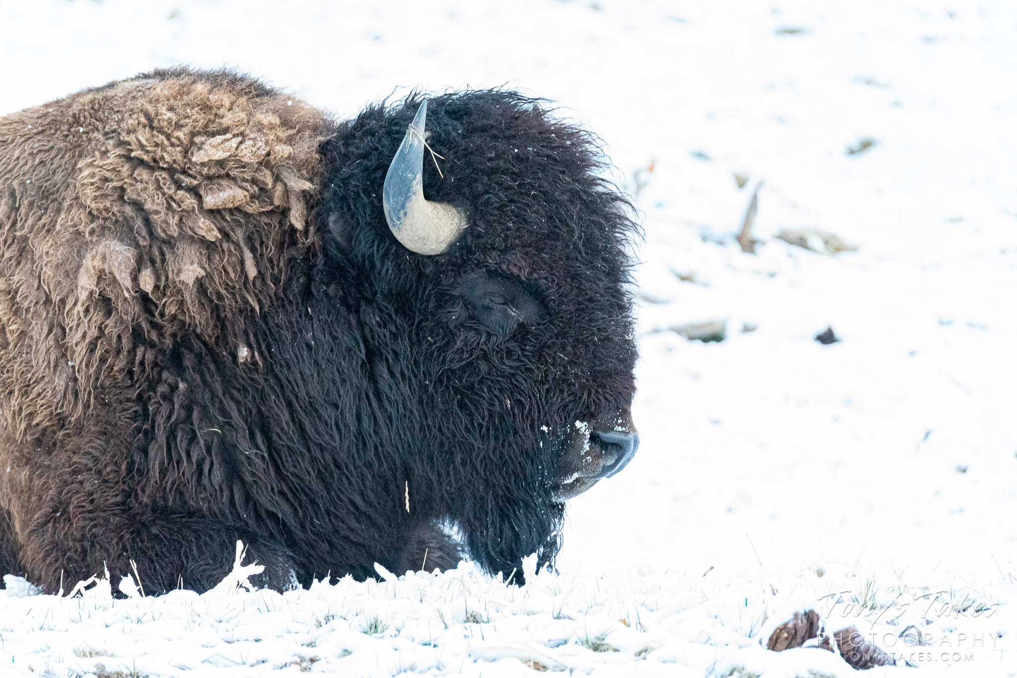 A bison bull rests of the plains during a spring snow. (© Tony's Takes)