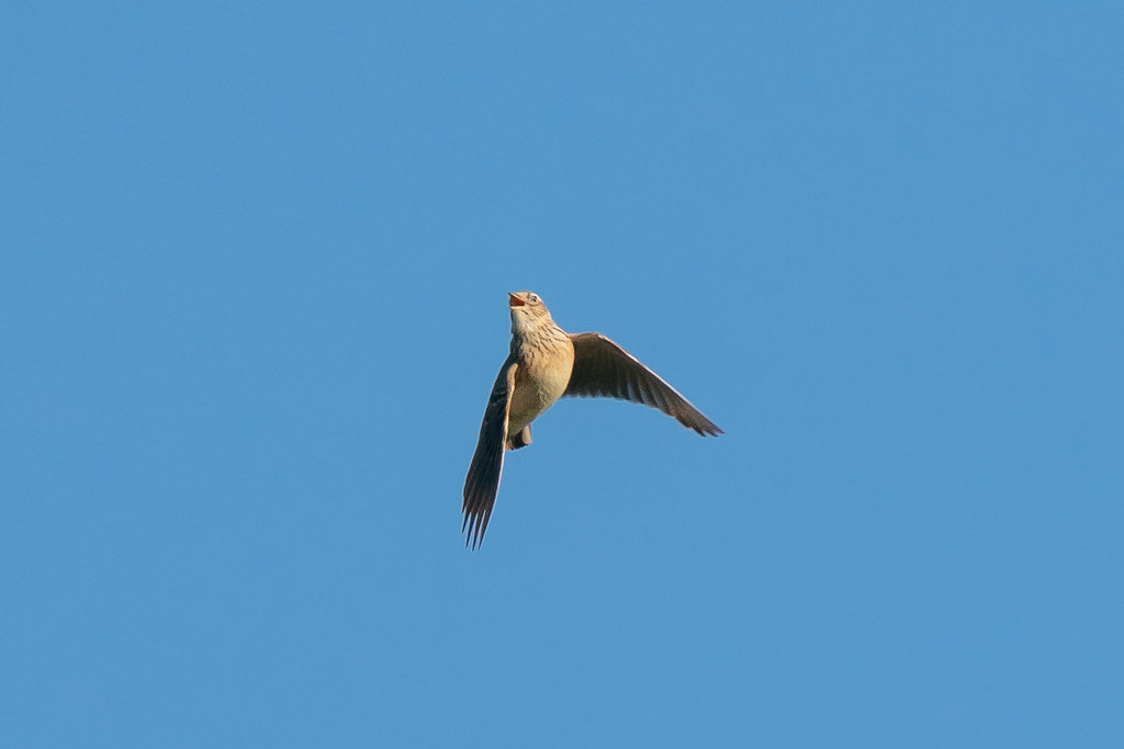 Another skylark