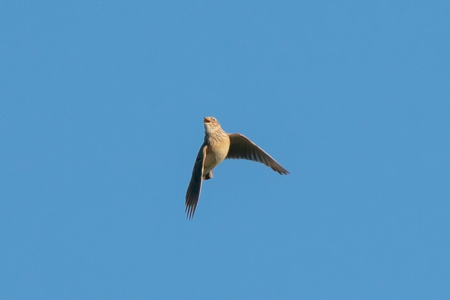 Another skylark