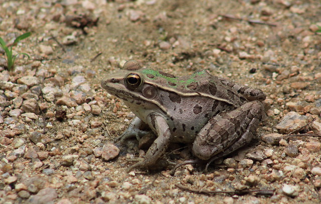 southern leopard frog (Lithobates sphenocephalus