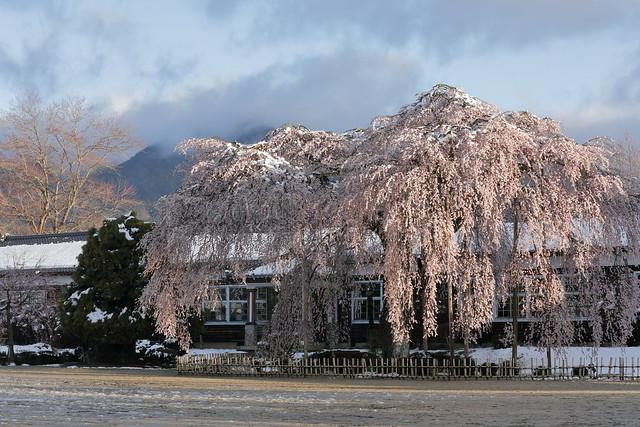 Closed school cherry blossoms