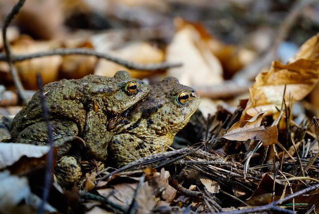 Krötenwanderung // toad migration
