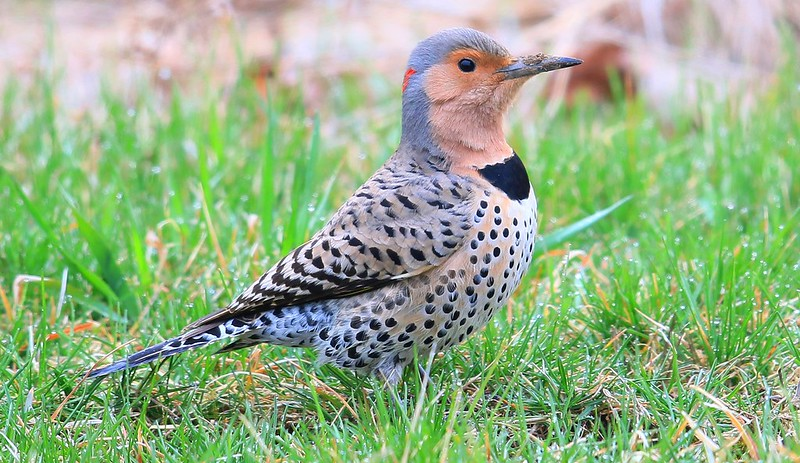 northern flicker female at NICC campus IA 653A3498