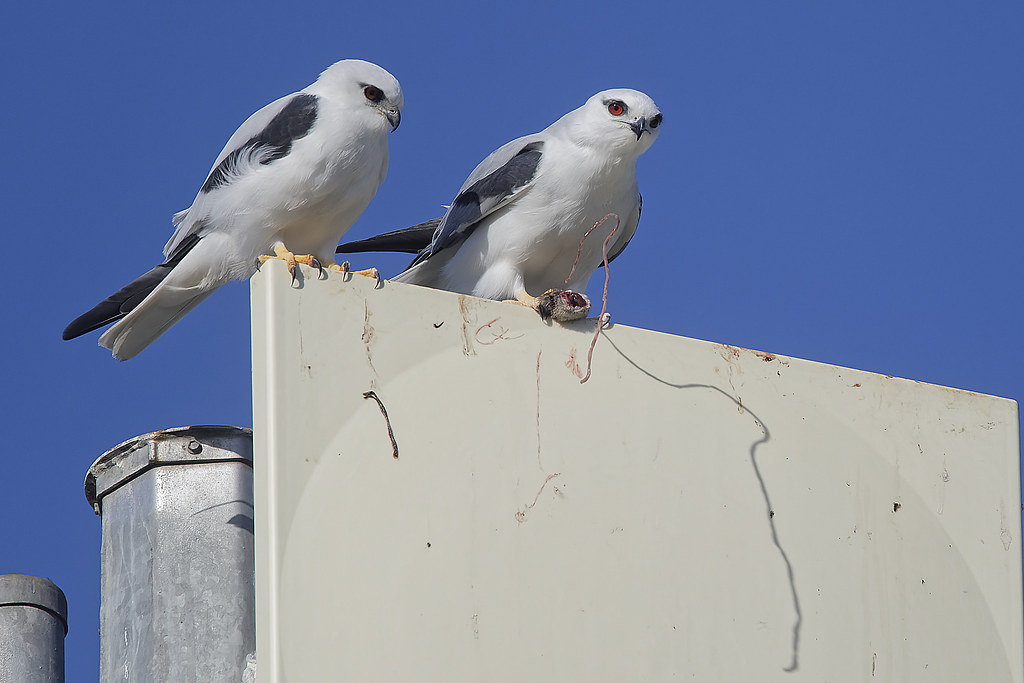 Black-shouldered KIte: The bits that John West Rejects