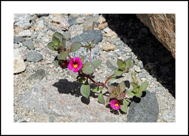 South Trona Wildflowers