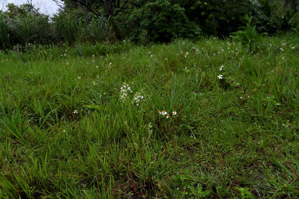 澤珍珠菜於台灣北部之生育地現況,與許多草本植物伴生,生長於較潮濕的環境。圖片來源:王偉聿。