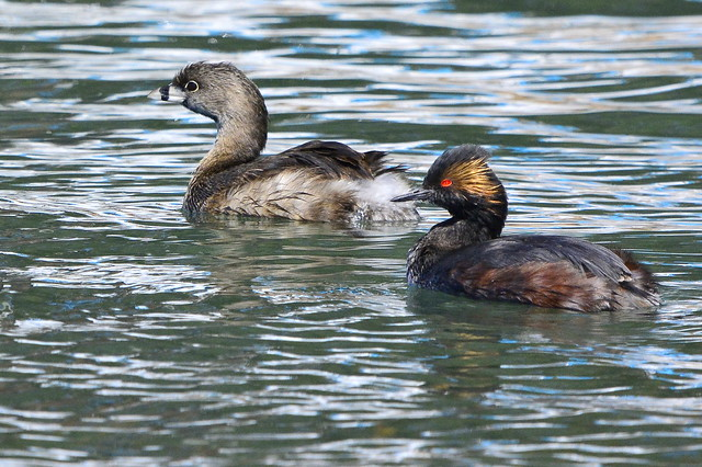Eared Grebe with Pied-billed Grebe