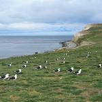 Nesting Kelp Gulls