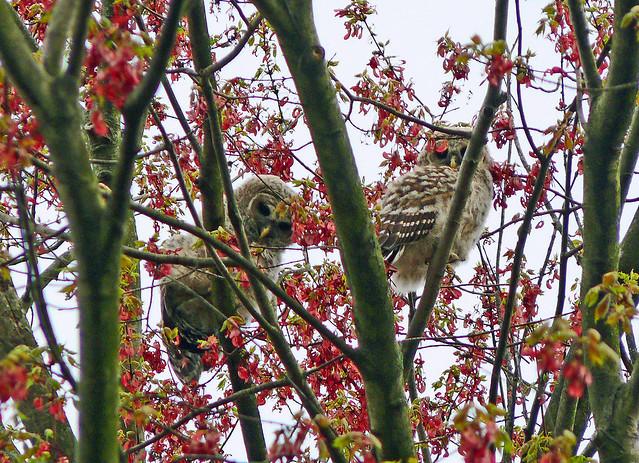 Barred Owl owlets (Strix varia)