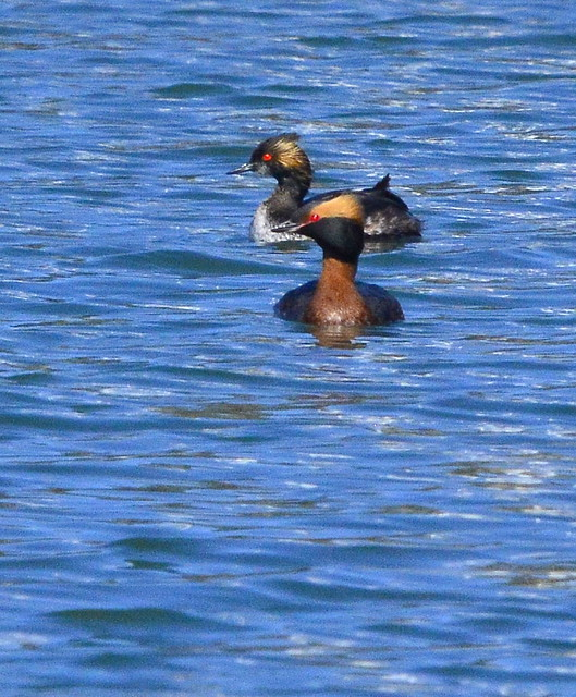 Horned Grebe with Eared Grebe