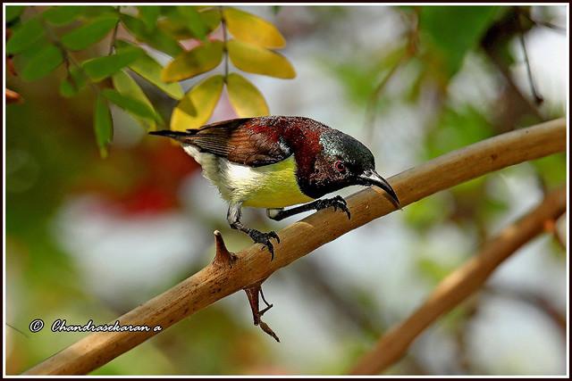9793 - sunbird