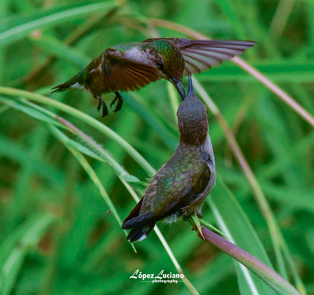 Zumbadorcito inmaduro y su madre.(Mellisuga mínima.) Vervain hummingbird.