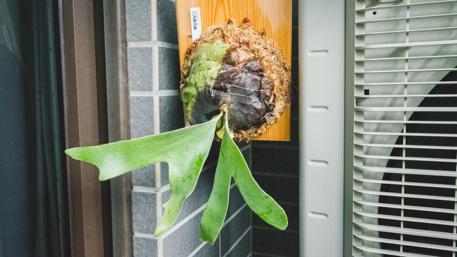 三角鹿角蕨成長紀錄
