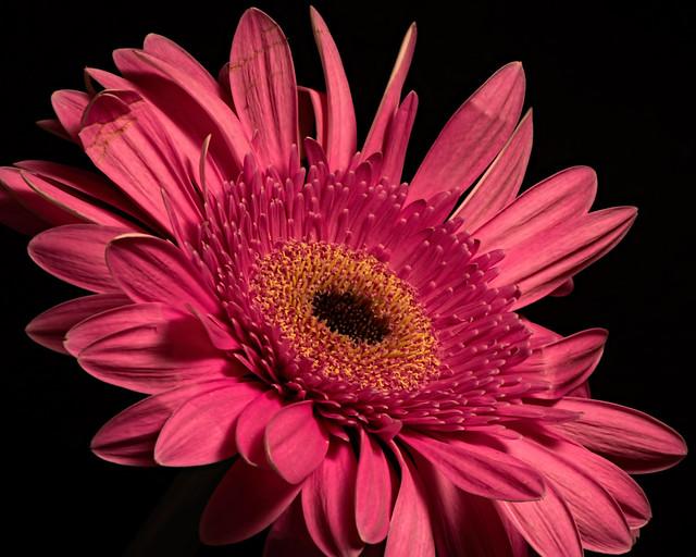 Pink Gerbera Bloom 0406