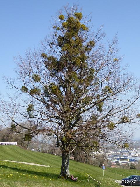 Misteln erobern einen Baum.