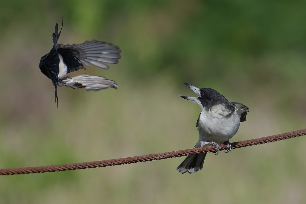 Willie Wagtail, Grey Butherbird- The Irresistable Force meets the Immovable Object