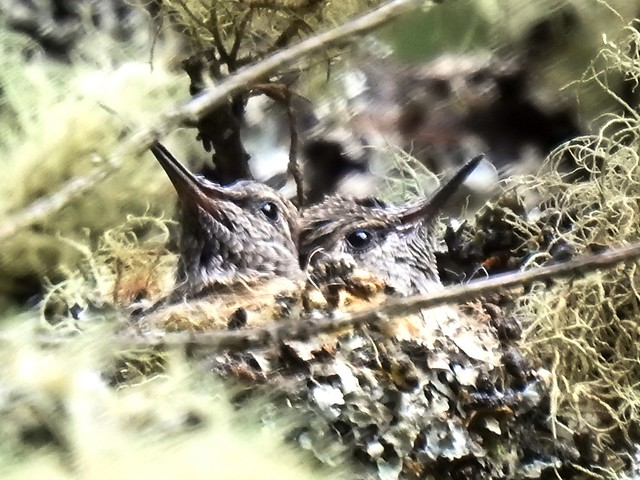 Anna's Hummingbird nest 4/5/20a